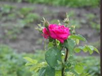 Роза и дождик